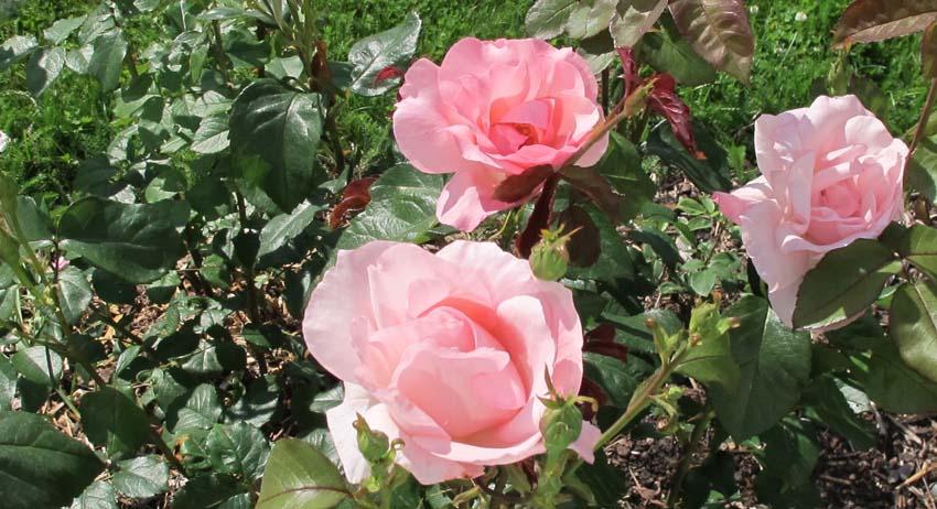 Ruusut I